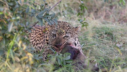 Watch a Rare Video of a Leopard Playing With Its Food