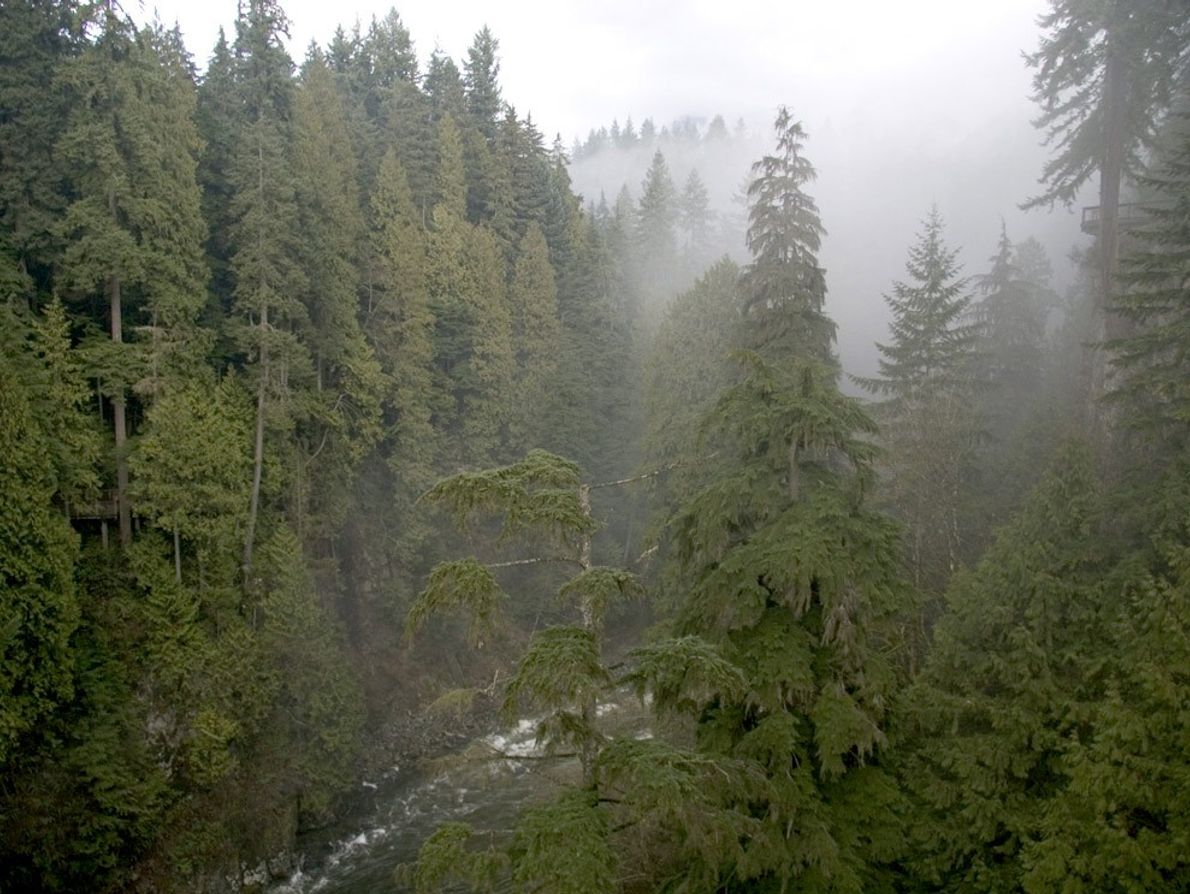 Fog crowns towering conifers, such as Douglas fir and yellow cedar, in the Pacific temperate rain ...