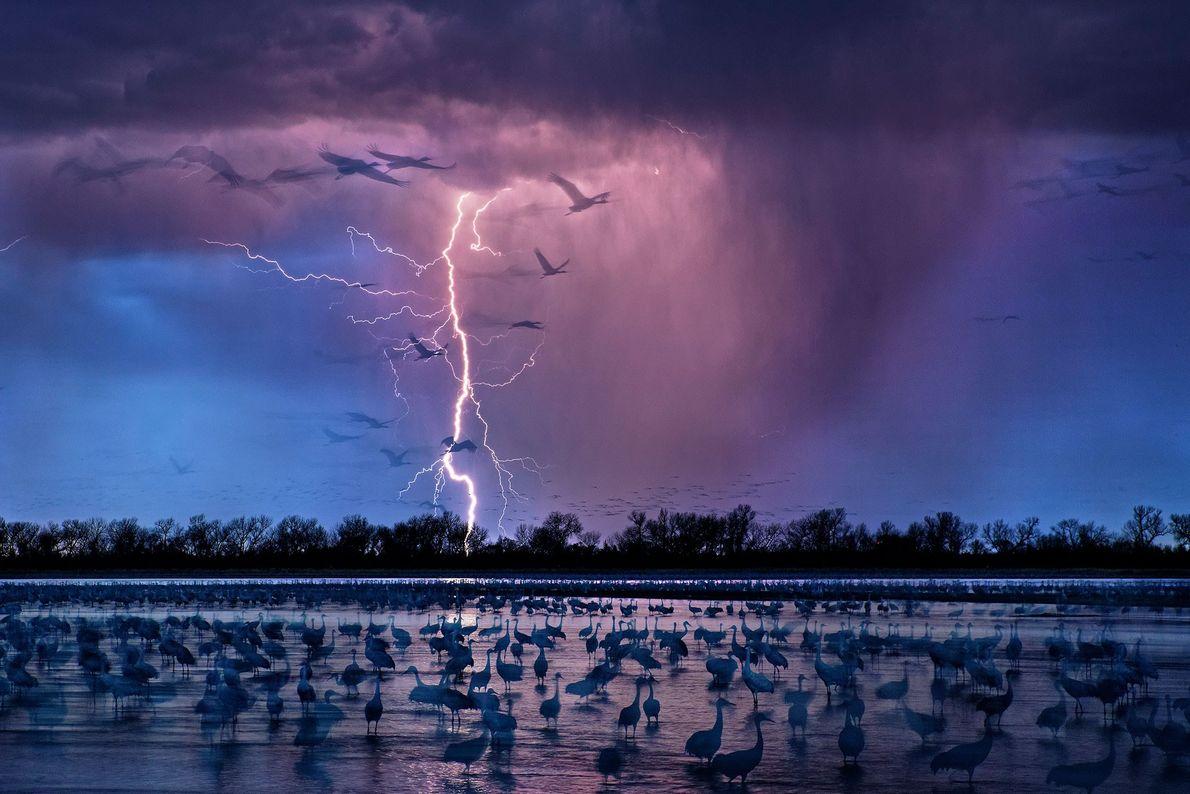 Sand hill cranes. Nebraska, United States.