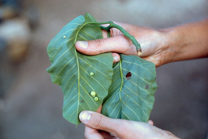 Delicatessen item for the apes bulges from the underside of leaves. Larvae of the gallfly cause ...