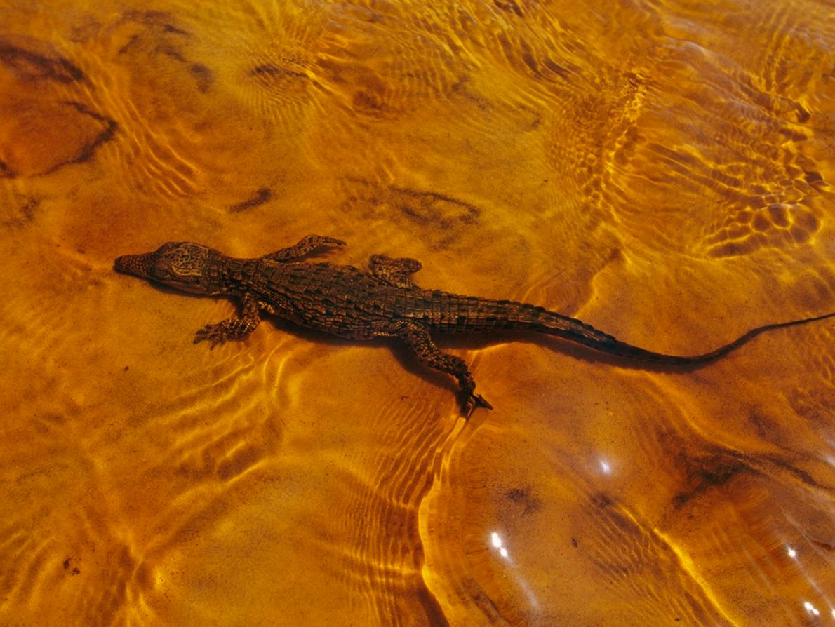 Mother Nile crocodiles lay their eggs in a buried nest, opening it when high-pitched squeaks are ...