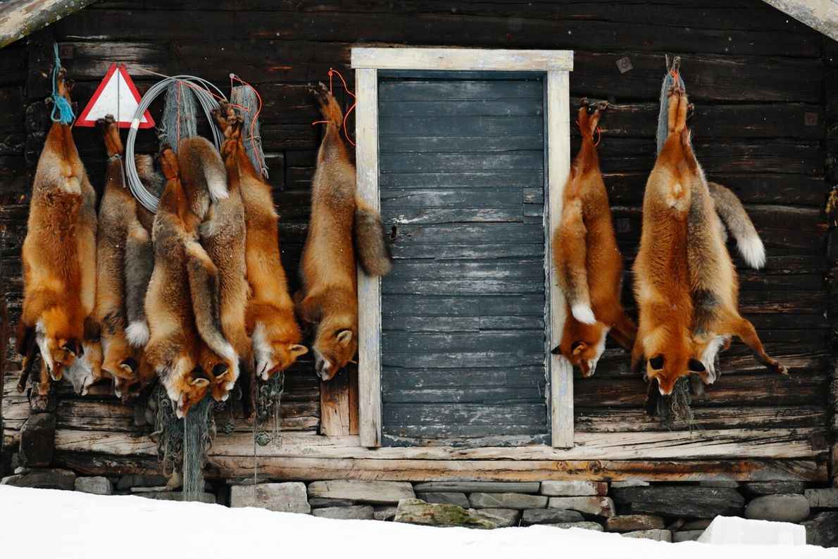 The carcasses of red foxes hang outside this trapper's hut, part of a campaign to protect ...