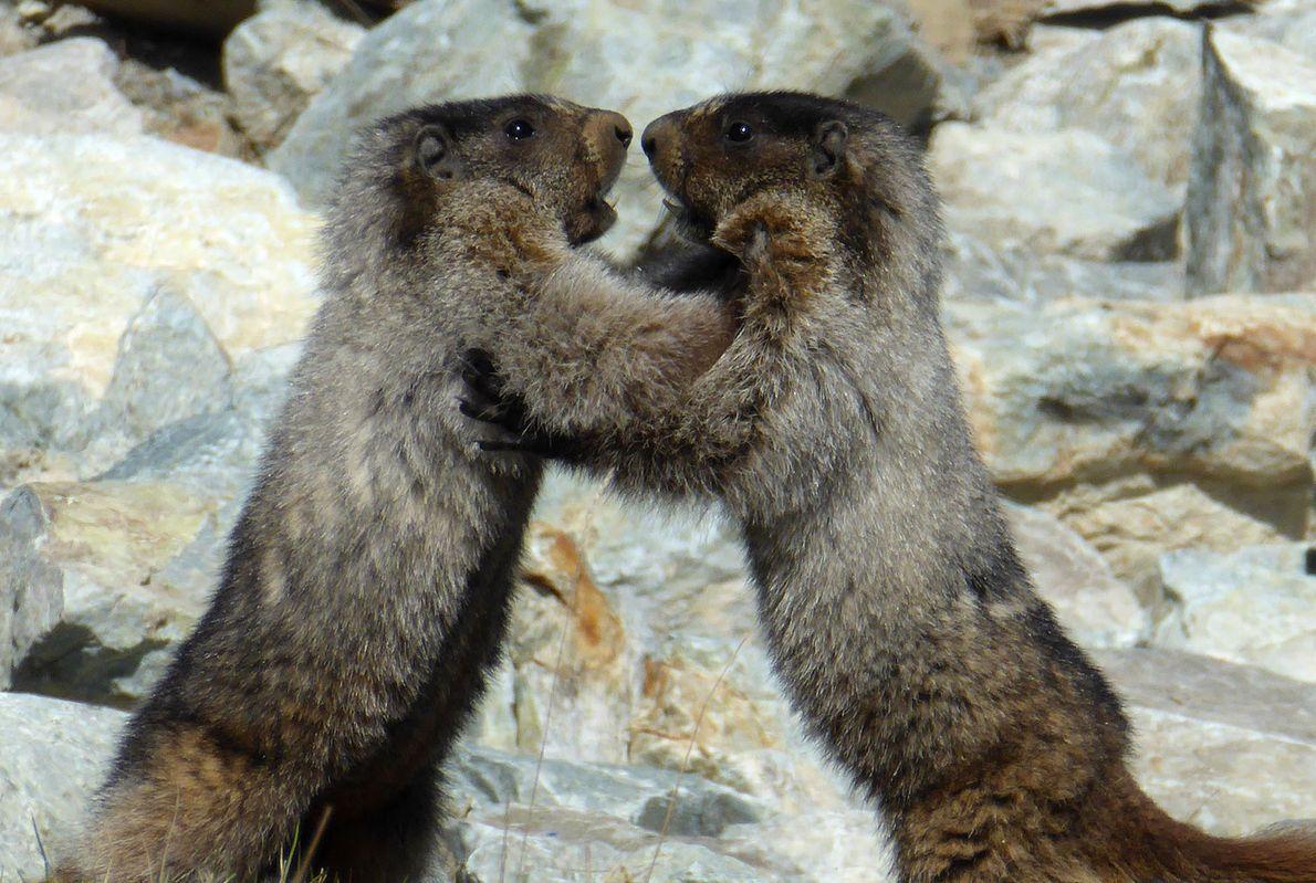 Marmots wrestle in Canada.
