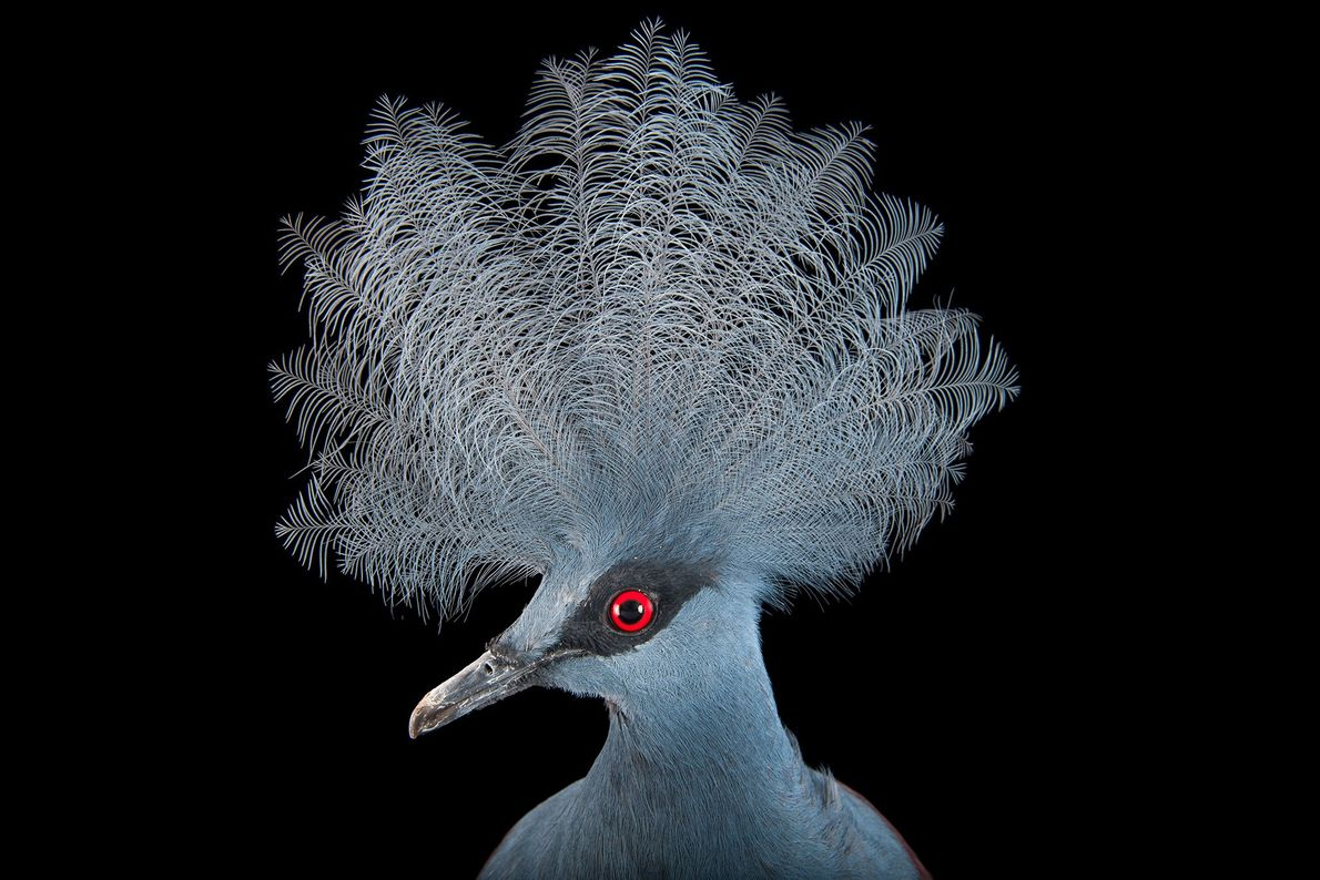 Blue crowned pigeon. Henry Doorly Zoo, Omaha, Nebraska, United States.