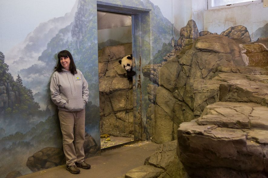Bei Bei, a giant panda at the Smithsonian's National Zoo in Washington, D.C., peeks through the ...