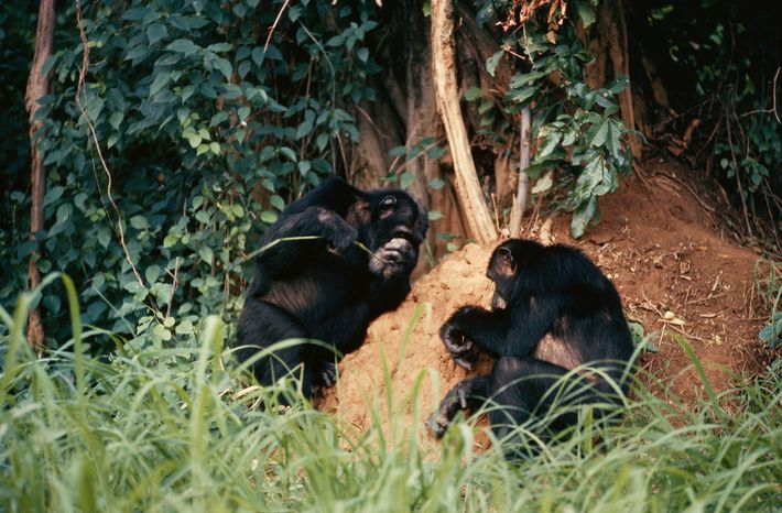 Apes fishing for termites use stems as tools, modifying them on the spot. The author established ...