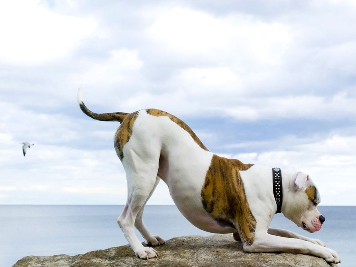 American bulldog relaxing at the beach.