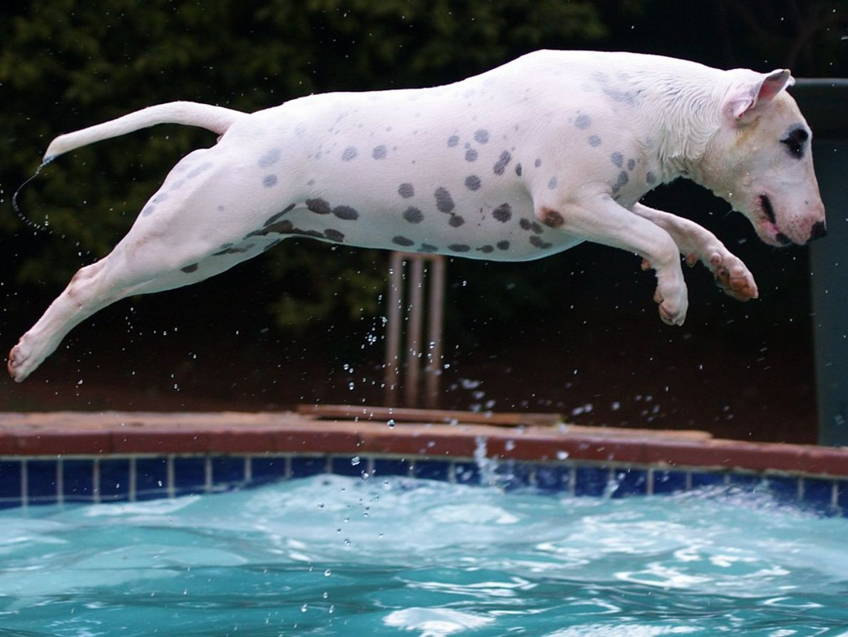 My bull terrier jumping into the swimming pool to recover her tennis ball. She will swim ...