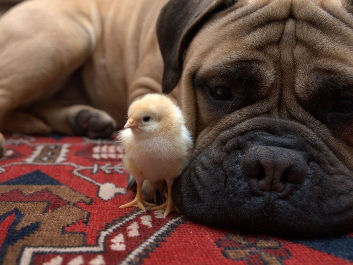 Our family hatched out several chicks in an incubator. Abby, our 90-pound bullmastiff, seemed to have ...