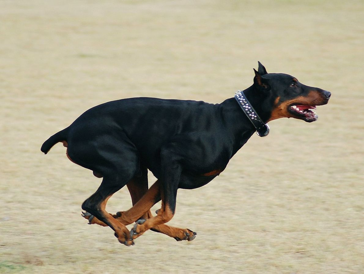 My Doberman pinscher, Zeus, running at the park.