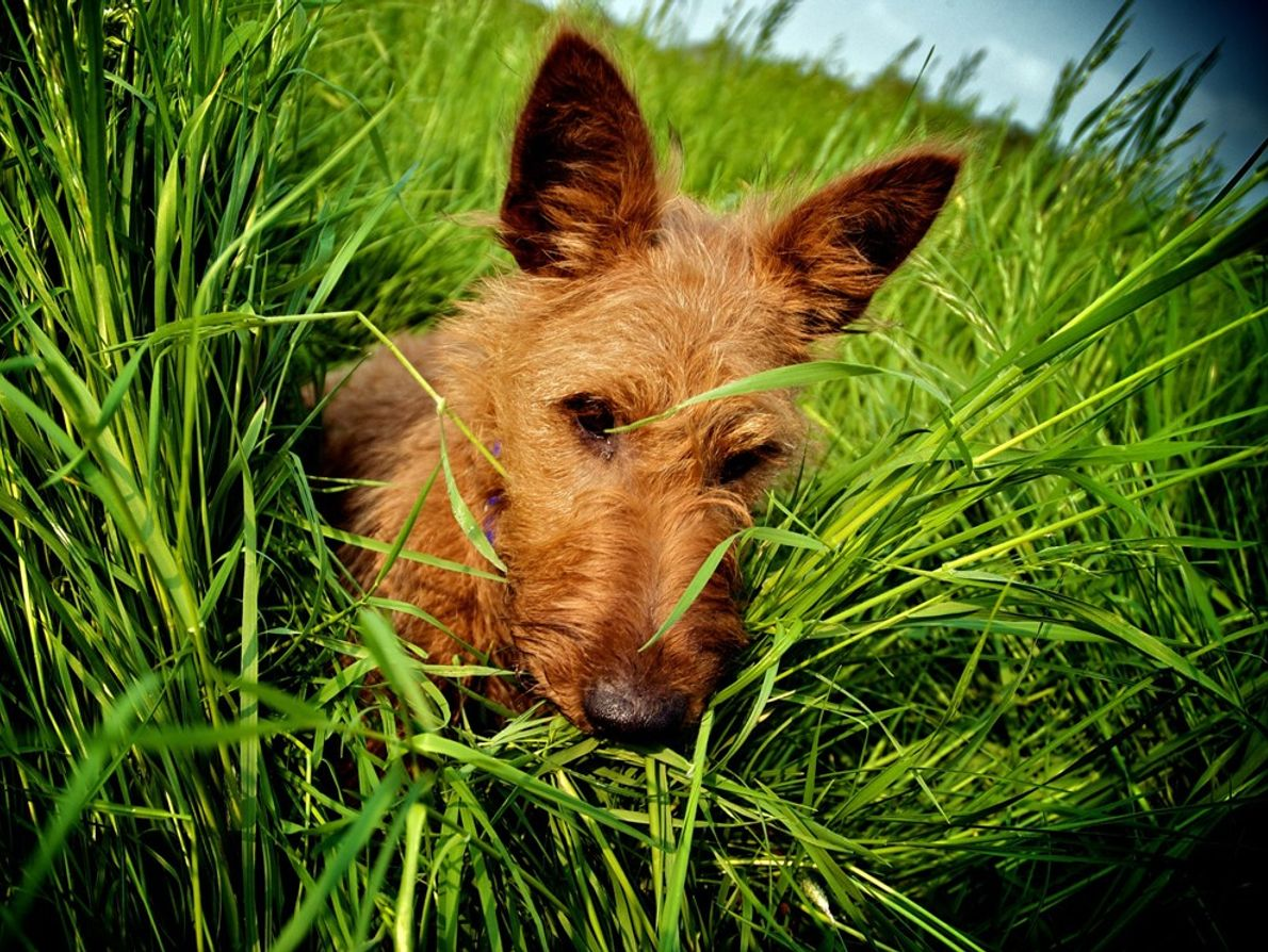 Bob, Irish terrier, female, born May 2006, in Petteridge, Kent, England. Amorous, loves shoes.