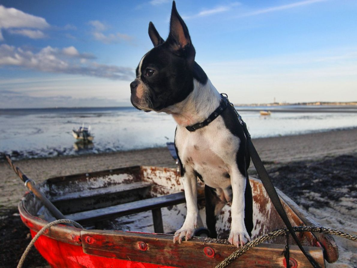 Lucy the explorer on her first trip to Cape Cod. She is a six-month-old female Boston ...