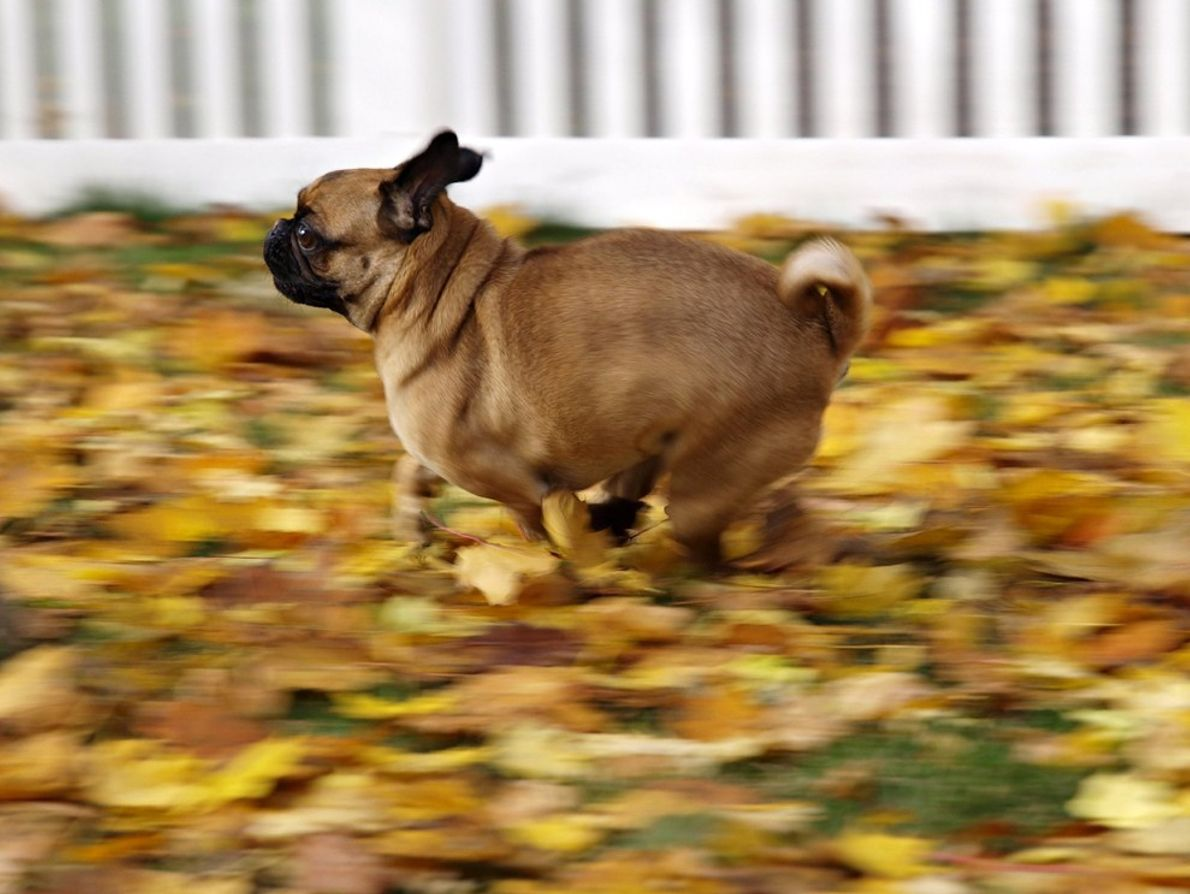 Cha Cha, pug, female, very active and friendly. Loves to run even if not being chased. ...