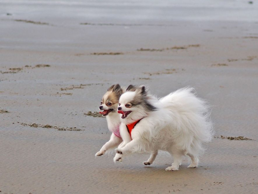 This is Zorro and his little sister, Madison. They are Pomeranians, approximately two years old. They ...