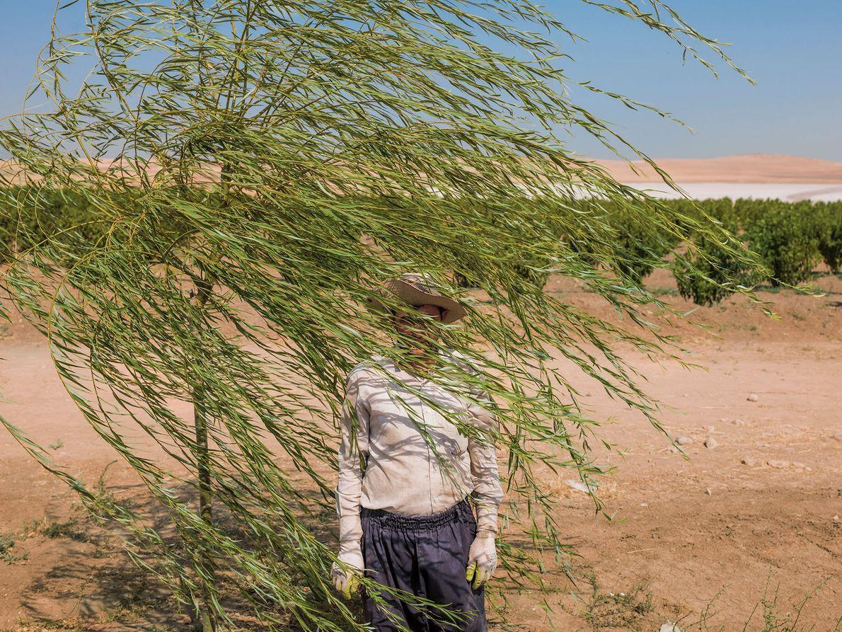 Reza Manafzadeh works on a fruit-tree farm at the edge of a Lake Urmia, Iran, where ...