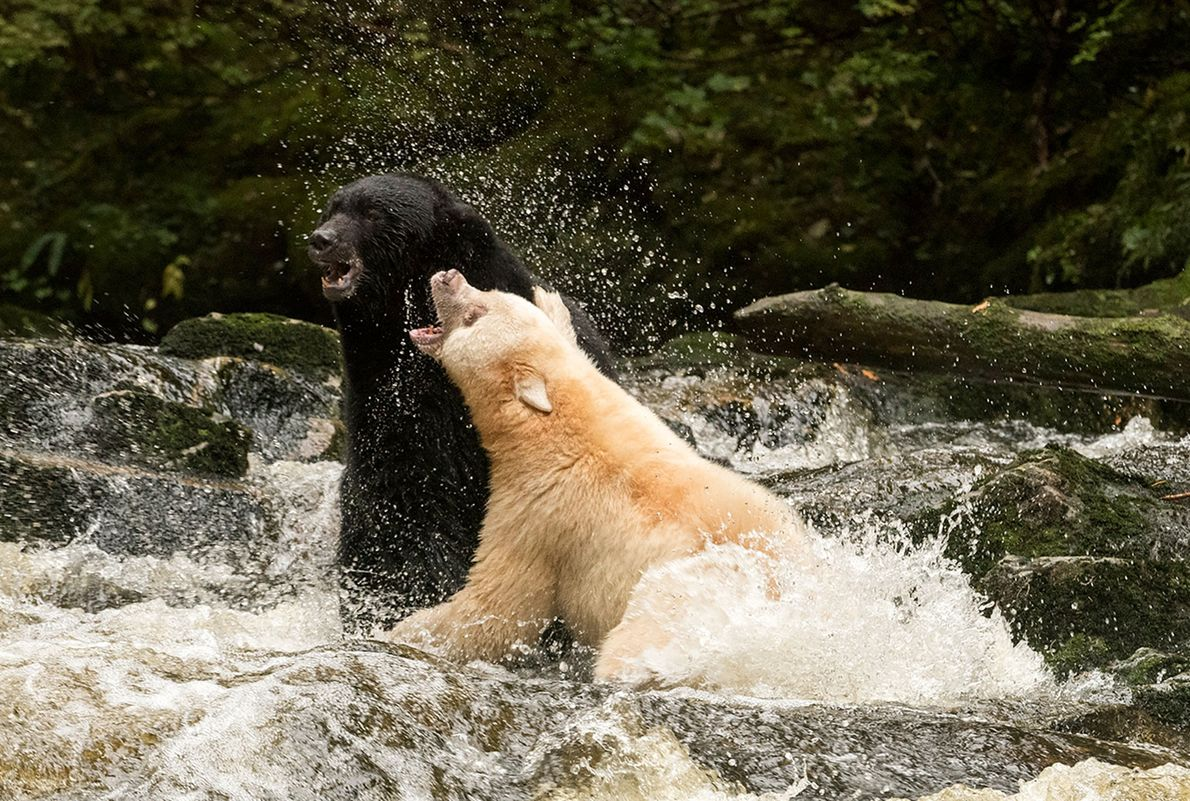 A black bear (left) and Kermode bear brawl in British Colombia.