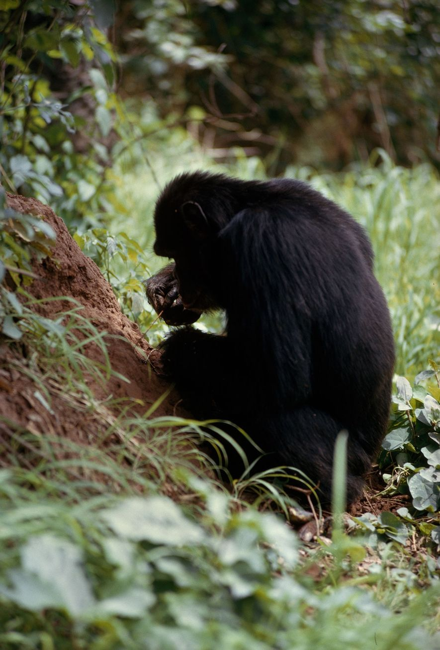 With humanlike concentration, a chimpanzee carefully feeds a length of vine into an opening it has ...