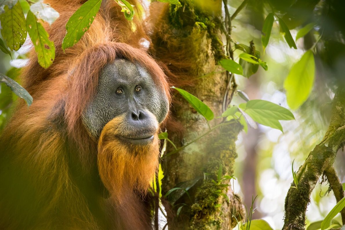 There are only 800 Tapanuli orangutans remaining in the wild today, all in Sumatra, yet their ...
