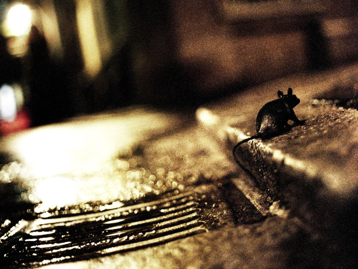 A rat emerges from a New York City sewer at night. Rats are common in urban ...