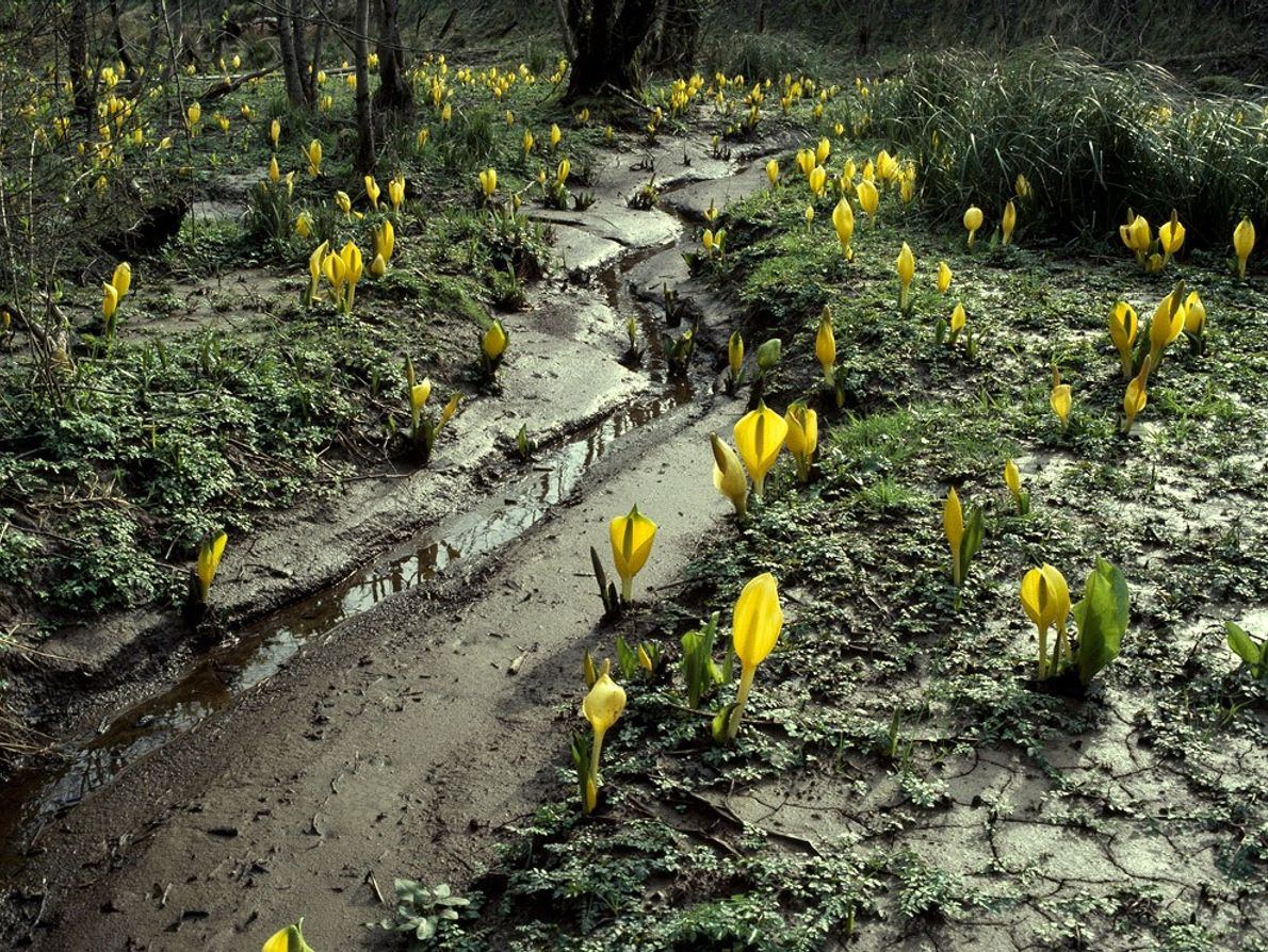 Foul-smelling skunk cabbage bloom along the Quinault River in Washington's Hoh River Valley temperate rain forest. ...