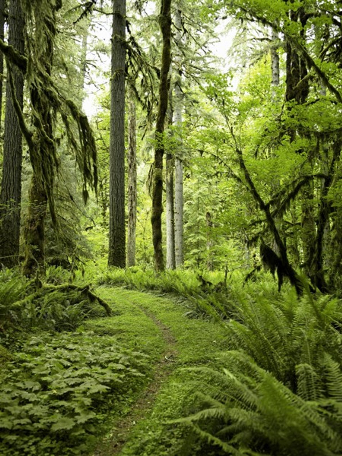 Moss-draped conifers and ferns populate Quinault, a Pacific rain forest in Washington State's Olympic National Park. ...