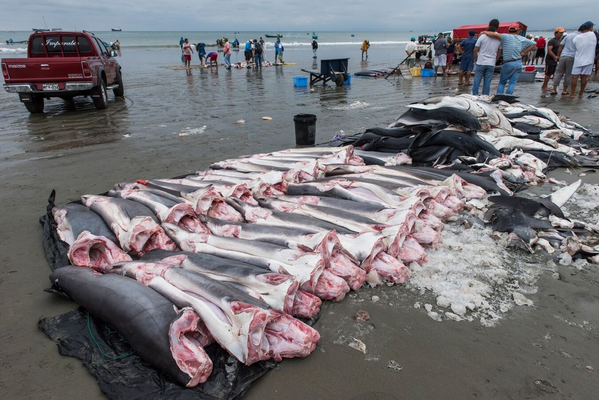 Conservation photographer Pete Oxford's gruesome image reveals dead sharks, both blues and threshers, caught in Ecuador ...