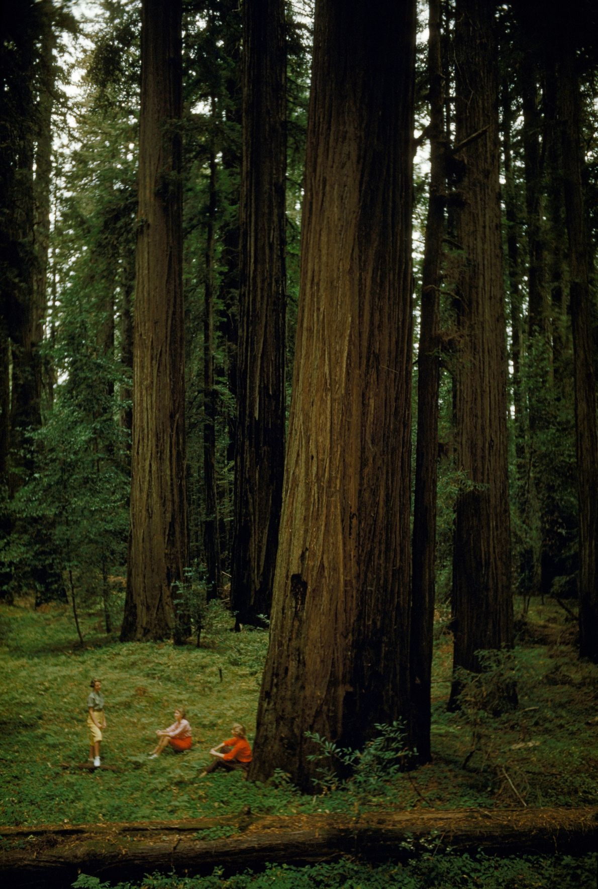 The grove of redwood trees provides a scenic place to appreciate nature.