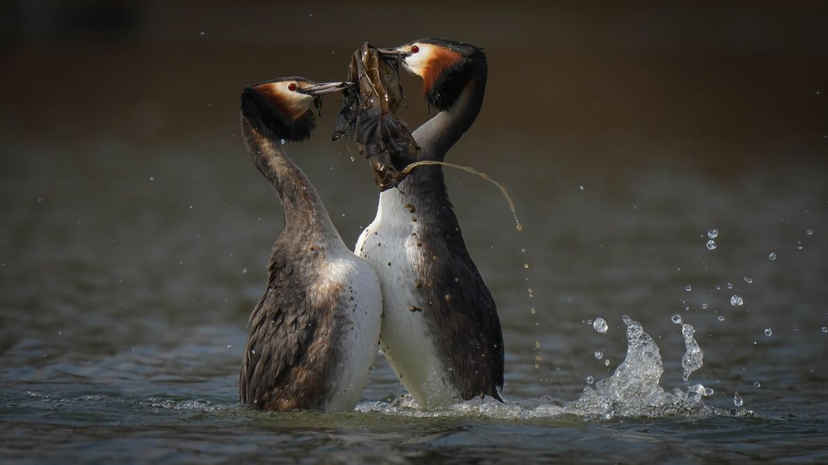 A dirty plastic bag destroys the beauty of the courtship dance between two great crested grebes ...