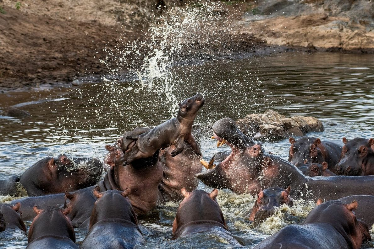 Borisov Evgeny's image of a hippopotamus calf being tossed into the air as two warring hippo ...