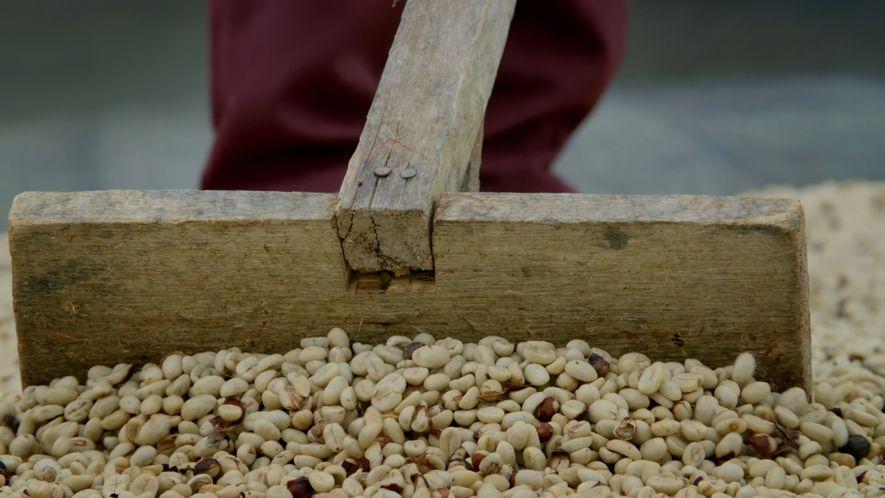 Revival of coffee farming in Caquetá