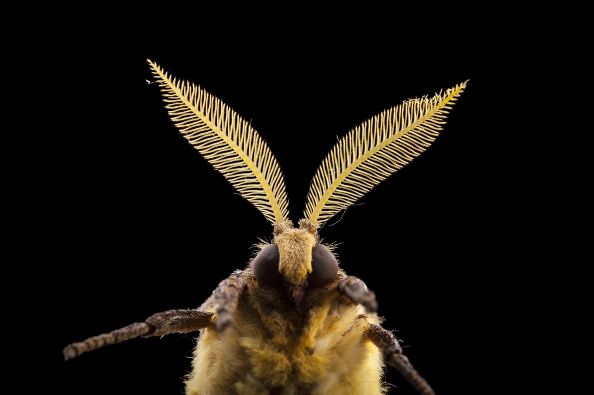 The African moon moth, Argema mimosae, is one of the giant silkworm moths. This species has ...