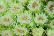 This close-up image shows coral polyps losing their pigment as a result of bleaching, spurred by ...
