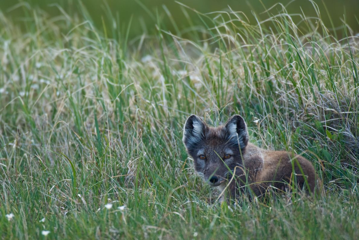 An arctic fox, Alopex lagopus, in tall grasses. Its coat is changing from winter white to ...