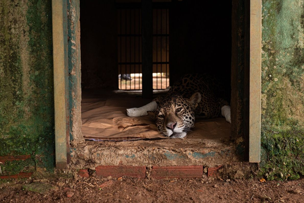 Amanaci, an adult female jaguar, had her paws burnt during fires in Brazil's Pantanal region of ...