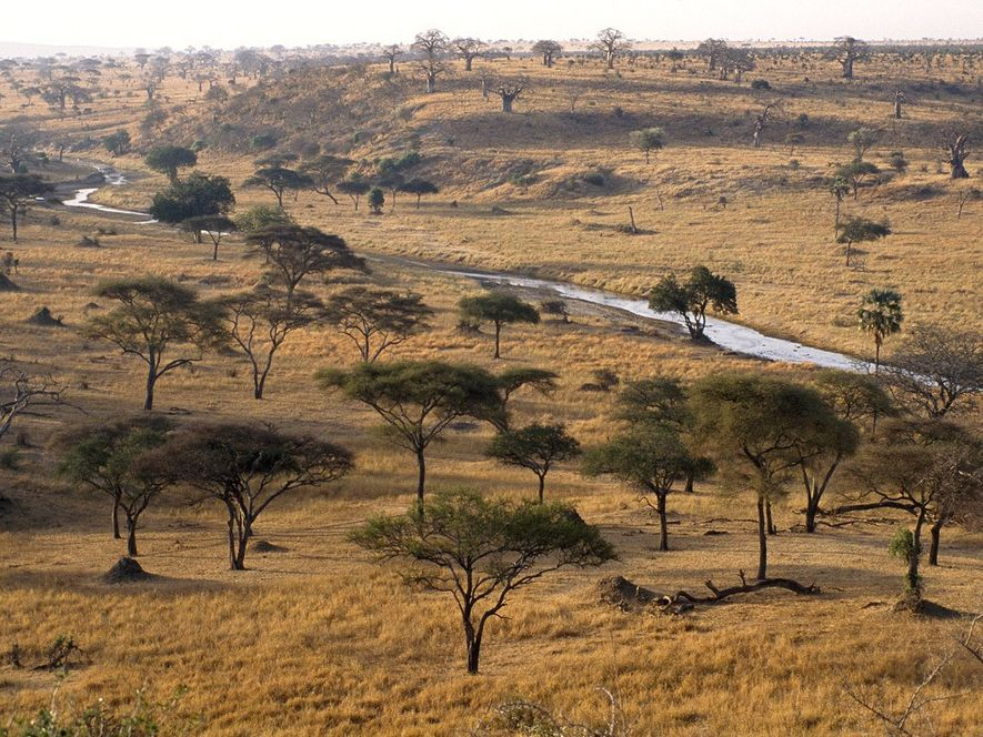 Acacia trees dot the landscape of Tarangire National Park in Tanzania, Africa. Contrasting seasons of rain ...
