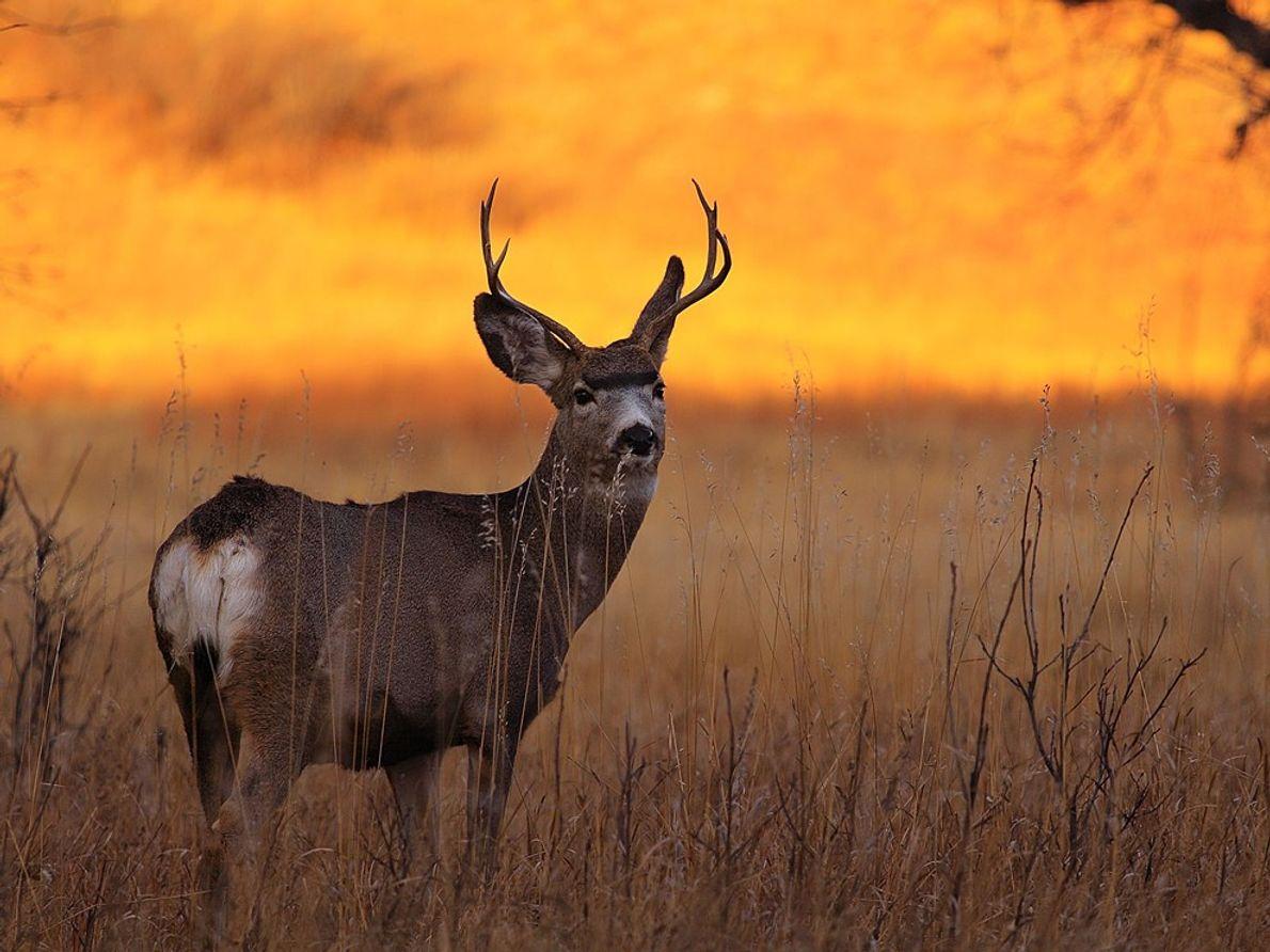 Deer, Black Hills National Forest