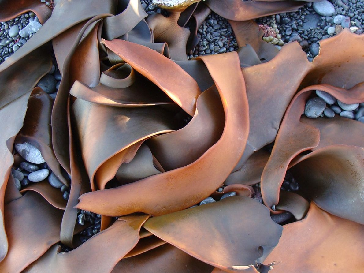 Beach Kelp, New Zealand