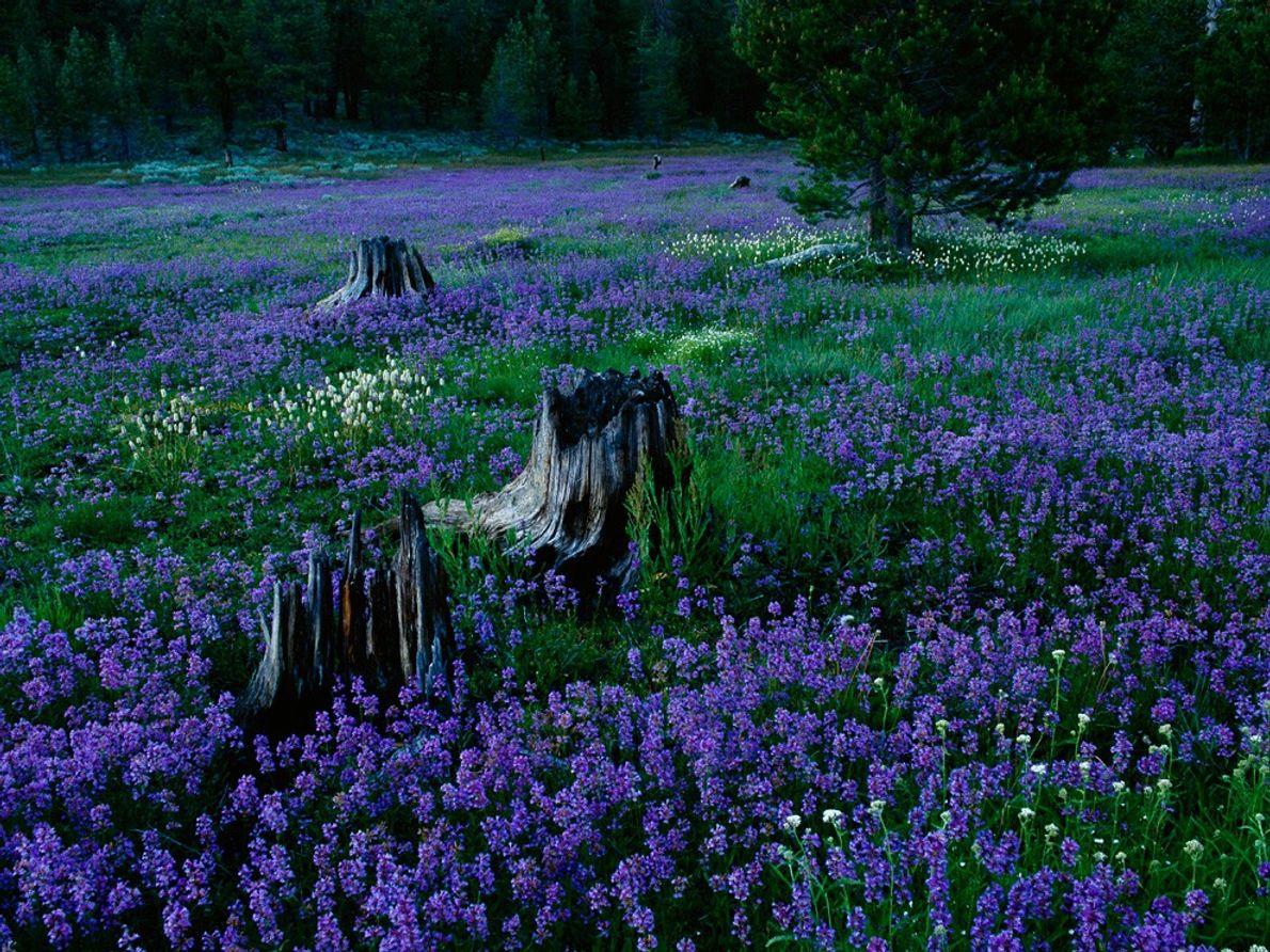 Penstemons, Tahoe National Forest