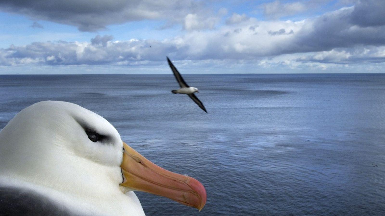 Albatross, Falkland Islands