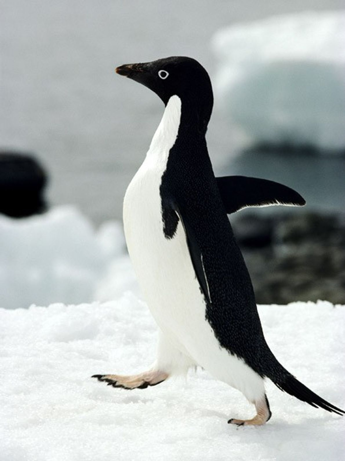 Wings spread, this Adélie penguin waddles through an Antarctic colony. Its black tail gives it a ...
