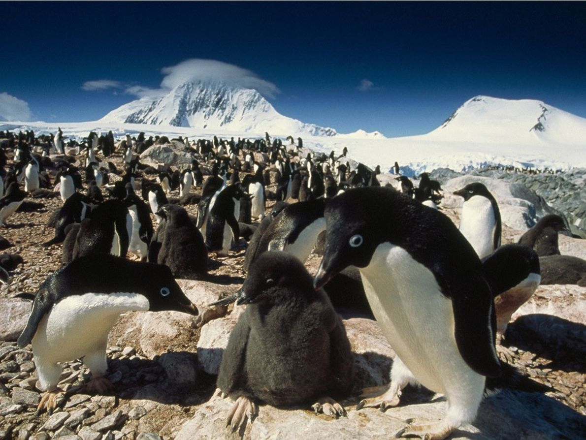 Adélie penguin parents take turns sitting on their nest to keep the eggs warm. Constant care ...