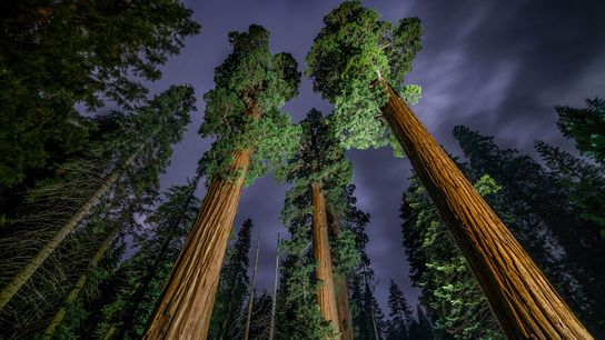 Giant Sequoia trees tower in the old growth forest of California's Sequoia National Park.