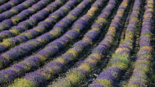 Grasse is the perfume-lover's dream, rippled with fields of lavender, roses, jasmine, violet and mimosa.