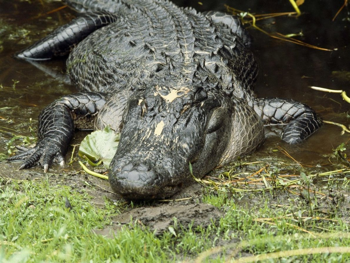 Saved from the brink of extinction, the American alligator now thrives in its native habitat: the ...