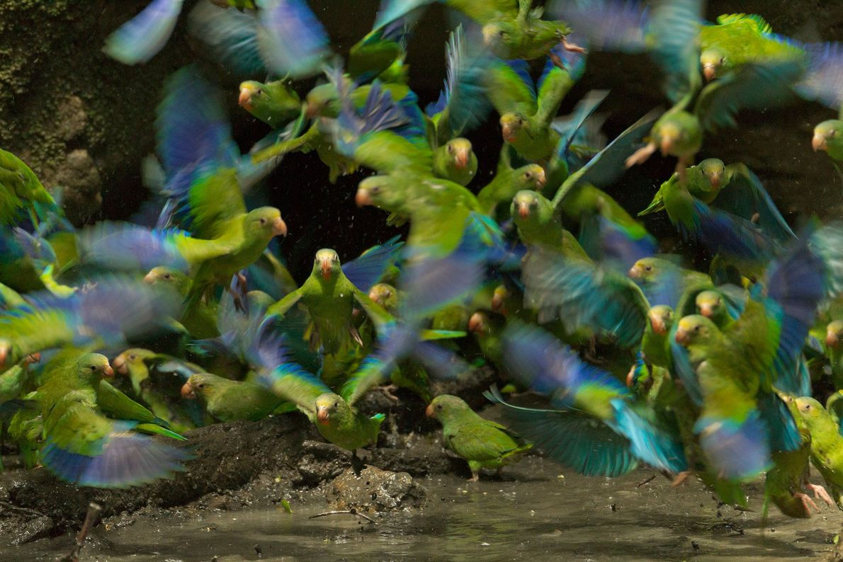 Parakeets with cobalt-colored wings flock to a pool to eat clay in Yasuni National Park, Ecuador.