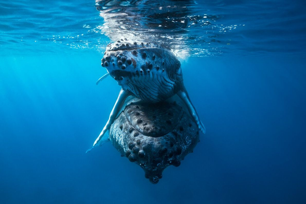 Humpback whale numbers had dwindled to a perilous 450 in the 1950s, but since the species ...