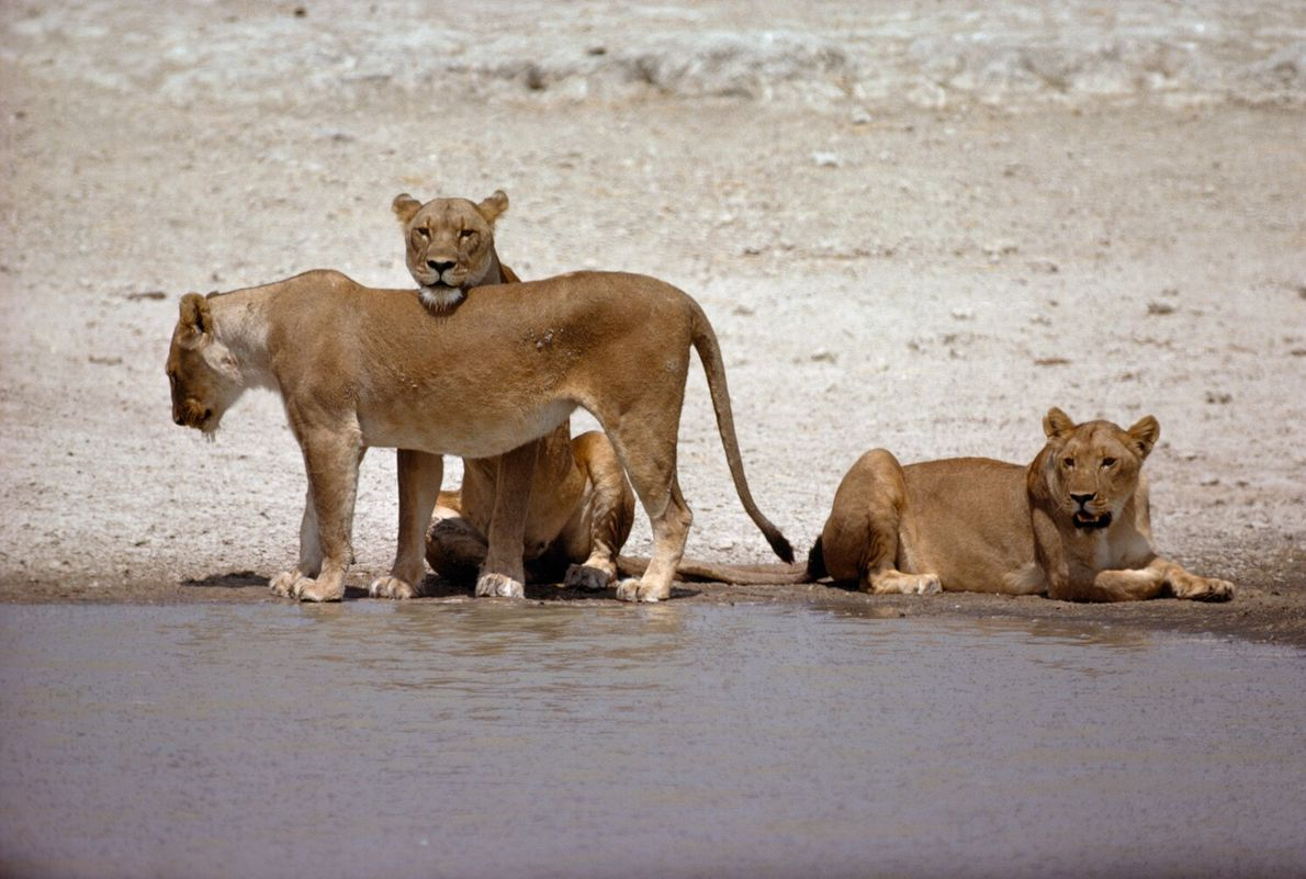 Picture of three female lions relaxing near a watering hole in Etosha National Park, Namibia