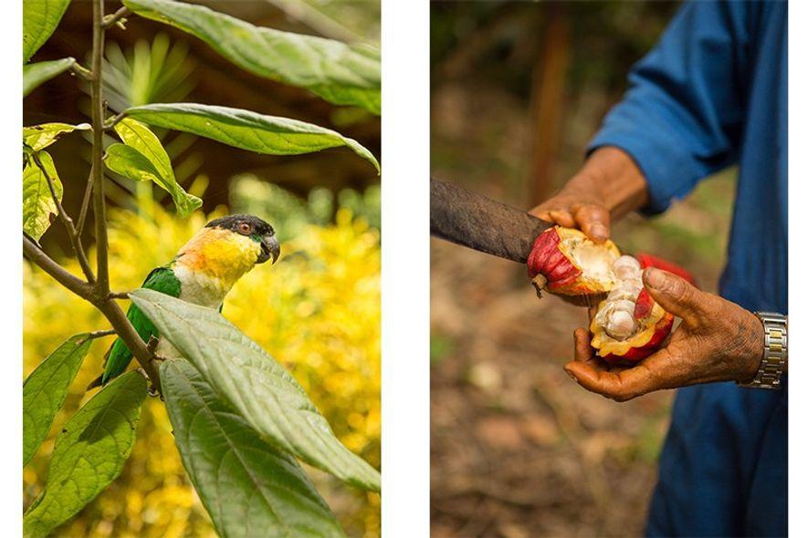 Cacao harvesting.