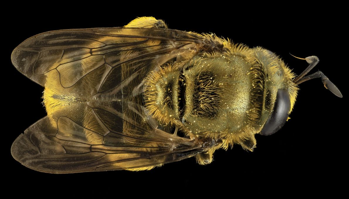 This may look like a bee—it had even Droege fooled when he caught it in Maryland—but ...