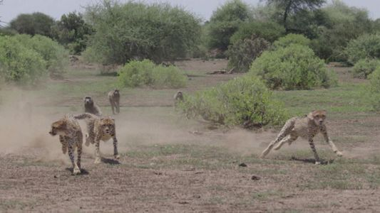 Four cheetahs being bullied by baboons